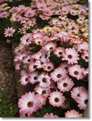 実家の庭の花♪