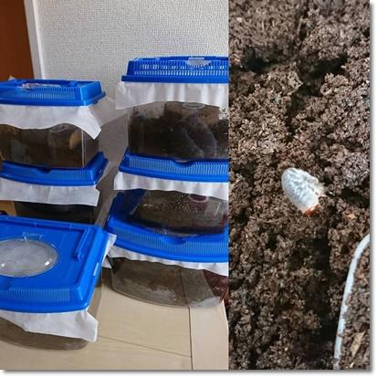 カブトムシの幼虫誕生!