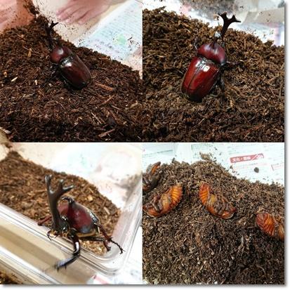 カブトムシの蛹と成虫♪